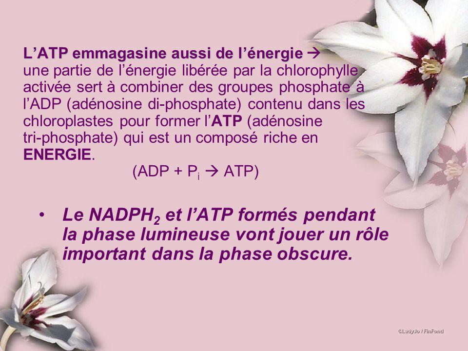 LATP emmagasine aussi de lénergie une partie de l énergie libérée par la chlorophylle activée sert à combiner des groupes phosphate à l ADP (adénosine