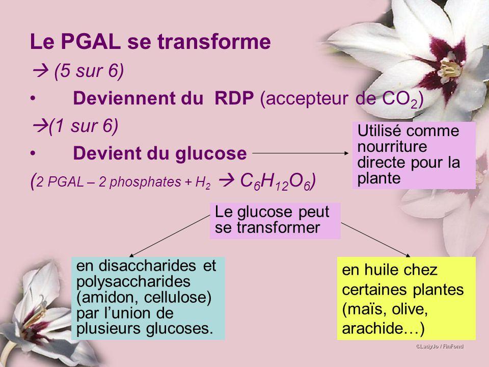 Le PGAL se transforme (5 sur 6) Deviennent du RDP (accepteur de CO 2 ) (1 sur 6) Devient du glucose ( 2 PGAL – 2 phosphates + H 2 C 6 H 12 O 6 ) Utili