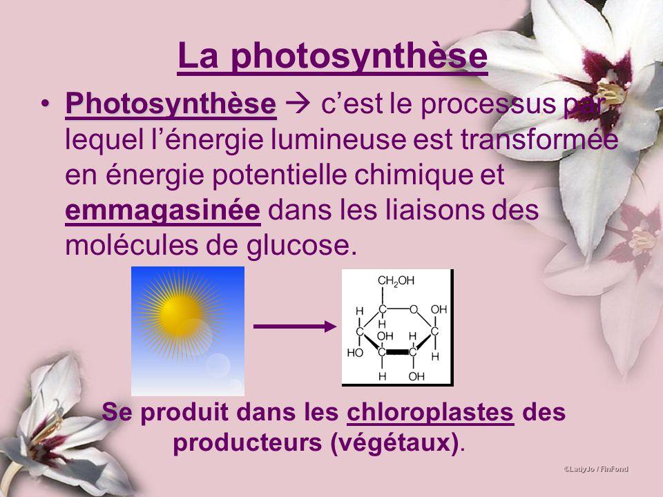 PhotosynthèsePhotosynthèse cest le processus par lequel lénergie lumineuse est transformée en énergie potentielle chimique et emmagasinée dans les lia