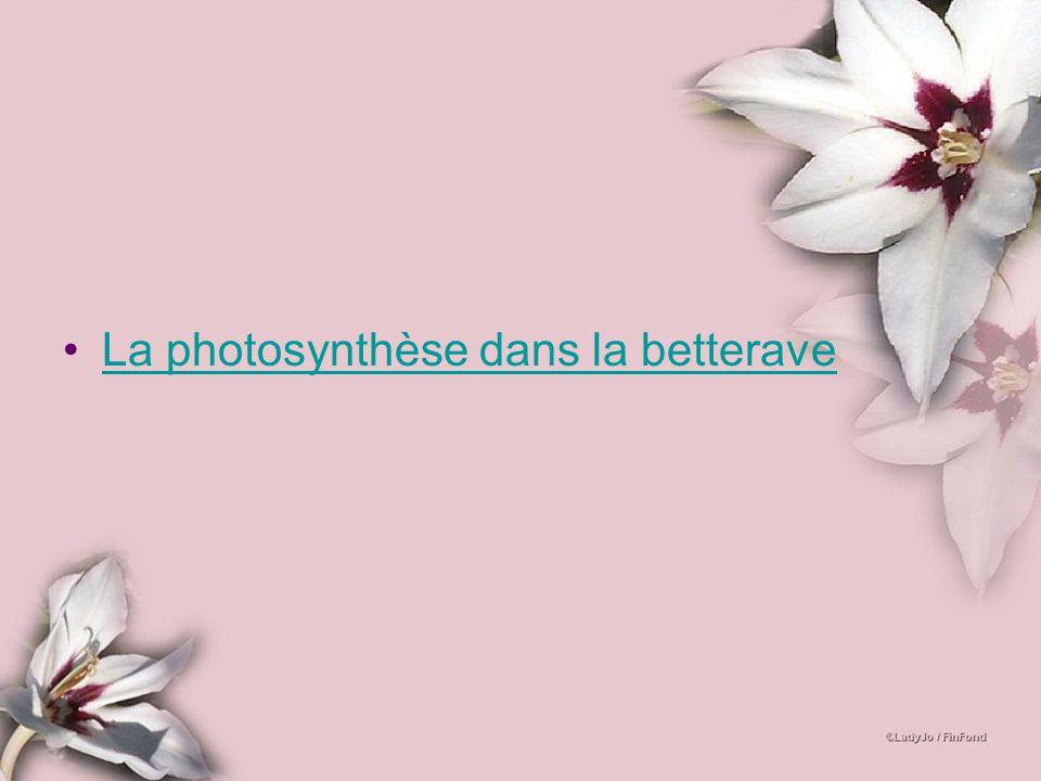 La photosynthèse dans la betterave