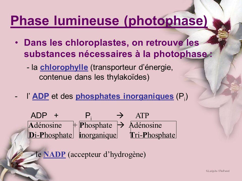 Phase lumineuse (photophase) Dans les chloroplastes, on retrouve les substances nécessaires à la photophase : - la chlorophylle (transporteur dénergie