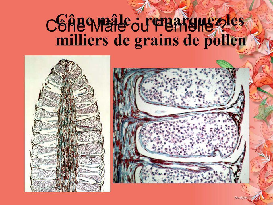 Cône Mâle ou Femelle ? Cône mâle : remarquez les milliers de grains de pollen