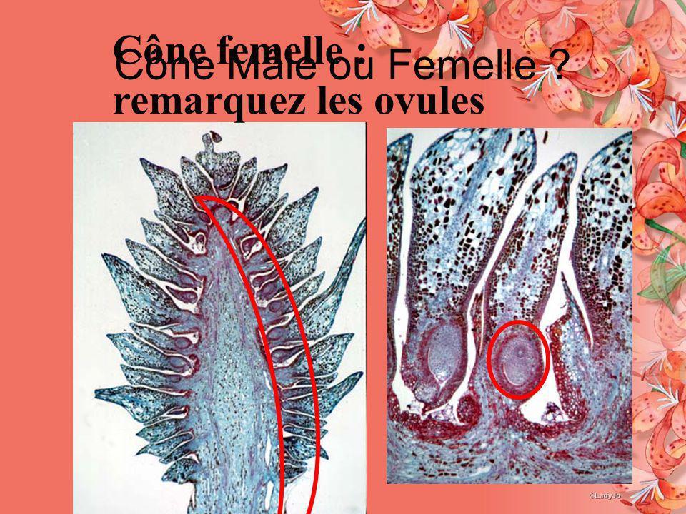 Cône Mâle ou Femelle ? Cône femelle : remarquez les ovules
