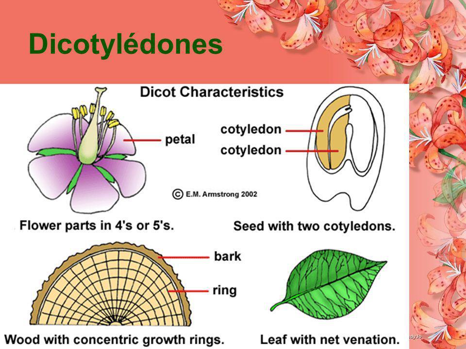 Dicotylédones