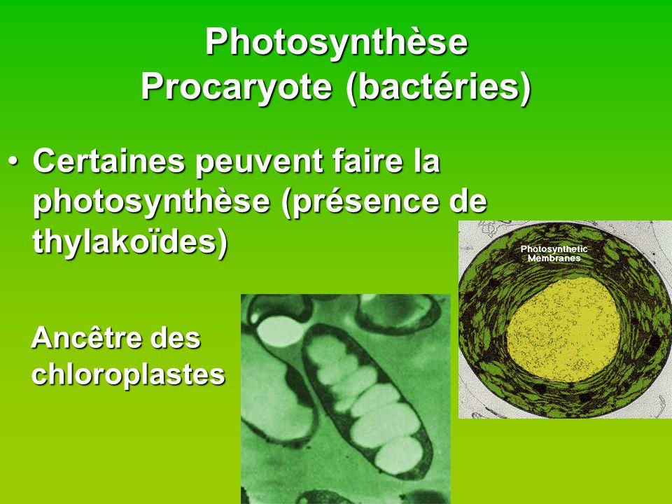 Photosynthèse Eucaryote - Animale Ne font JAMAIS la photosynthèseNe font JAMAIS la photosynthèse –Pas de chloroplastes