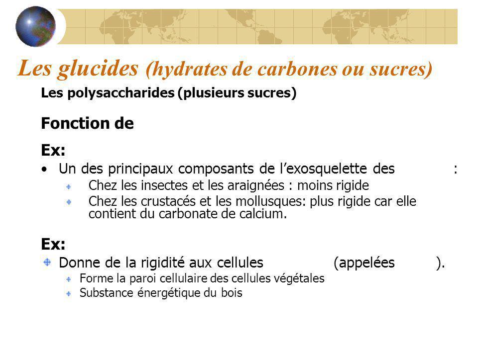 Les glucides (hydrates de carbones ou sucres) Les polysaccharides (plusieurs sucres) Fonction de structure Ex: Chitine Un des principaux composants de