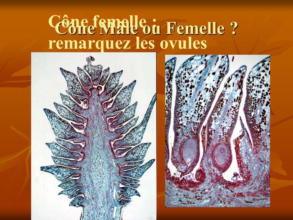 Les angiospermes Les monocotylédones Les monocotylédones