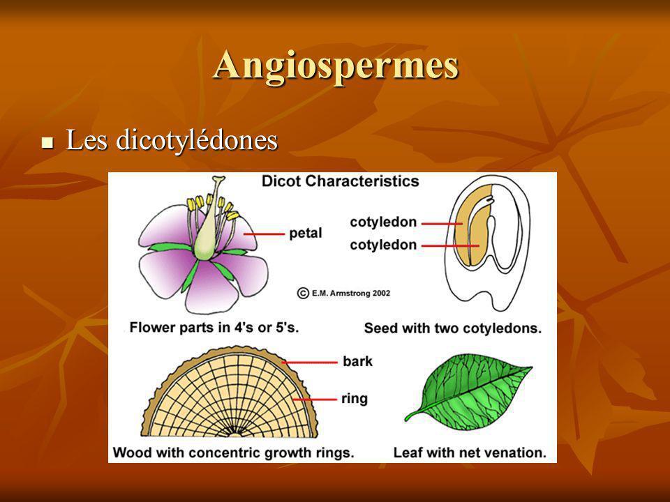 Angiospermes Les dicotylédones Les dicotylédones