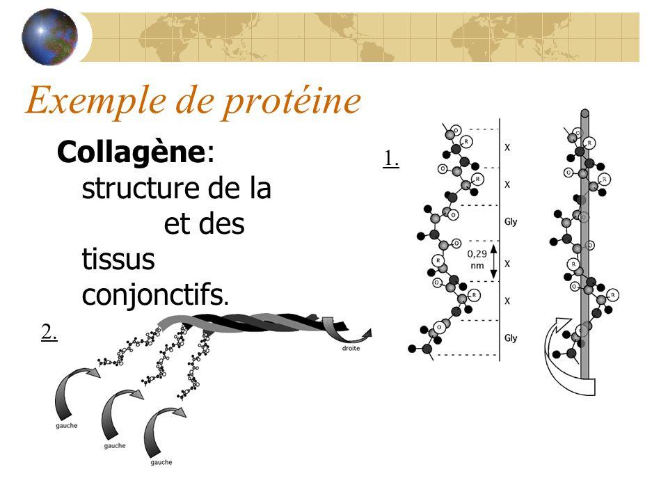 Exemple de protéine Collagène: structure de la peau et des tissus conjonctifs. 1. 2.