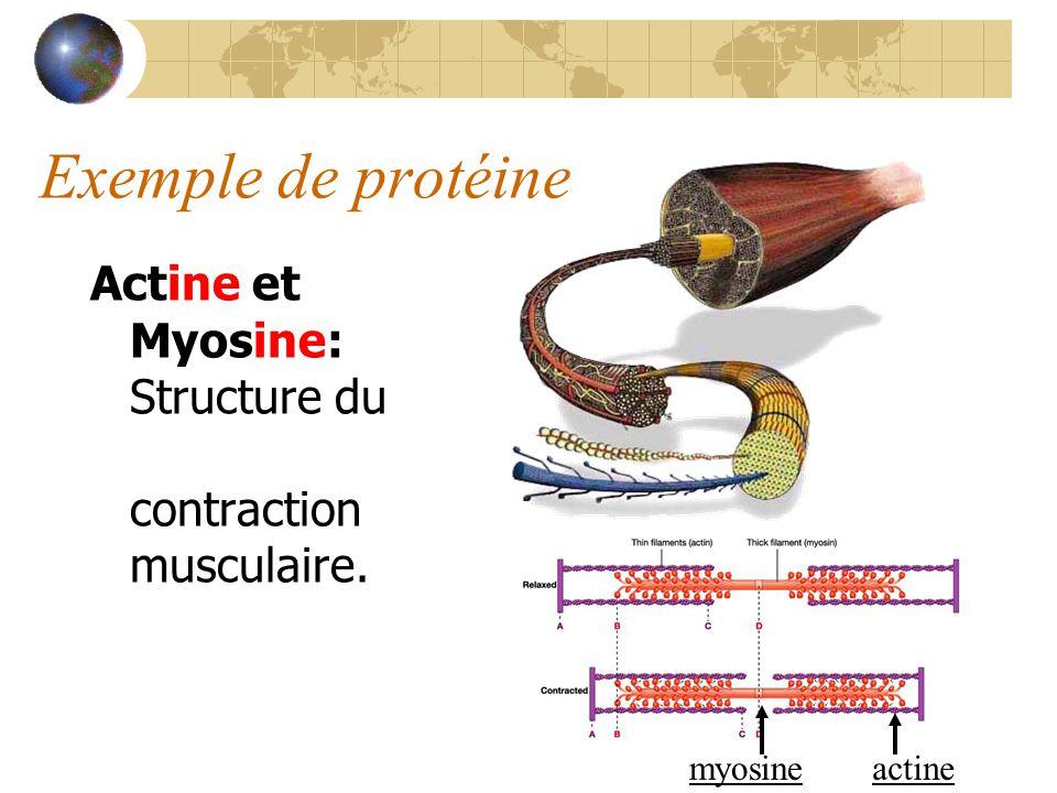 Exemple de protéine Actine et Myosine: Structure du muscle, contraction musculaire. actinemyosine