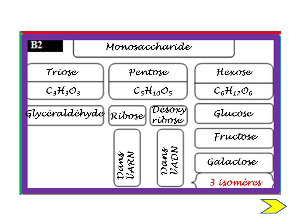 Monosaccharide Triose C3H3O3C3H3O3 Glycéraldéhyde Pentose C 5 H 10 O 5 Ribose Désoxy ribose Dans lADN Dans lARN Hexose C 6 H 12 O 6 Glucose Fructose G