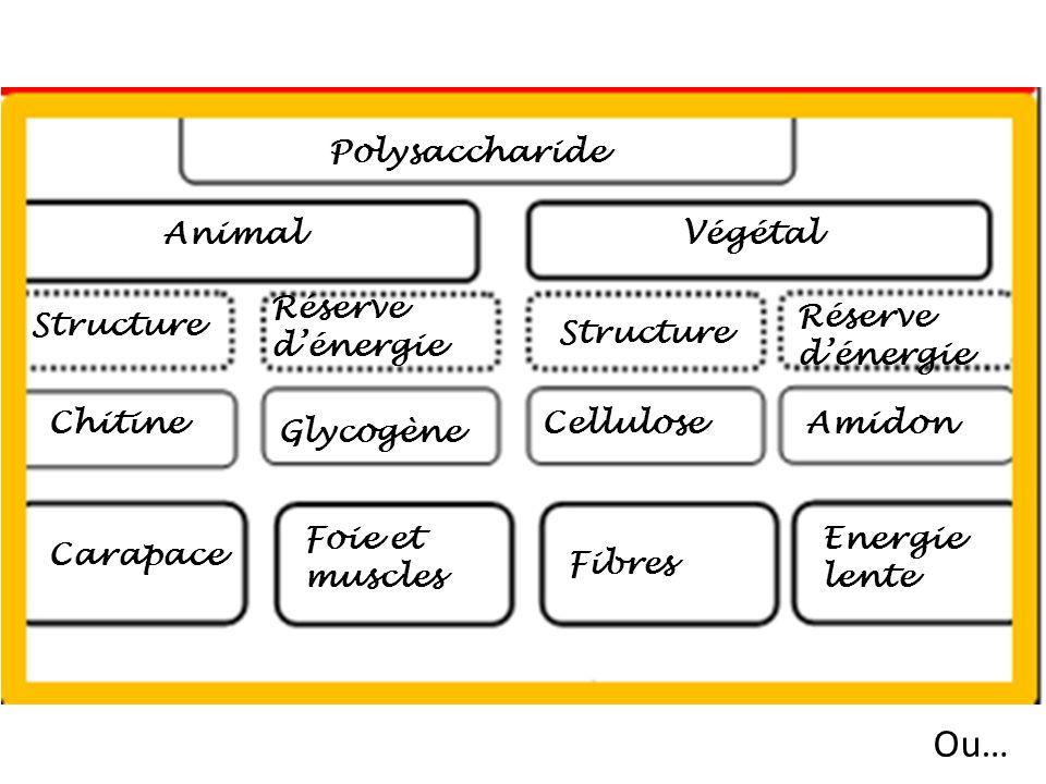 Polysaccharide Structure Animal ChitineCellulose Réserve dénergie Végétal Amidon Carapace Fibres Energie lente Structure Réserve dénergie Glycogène Fo
