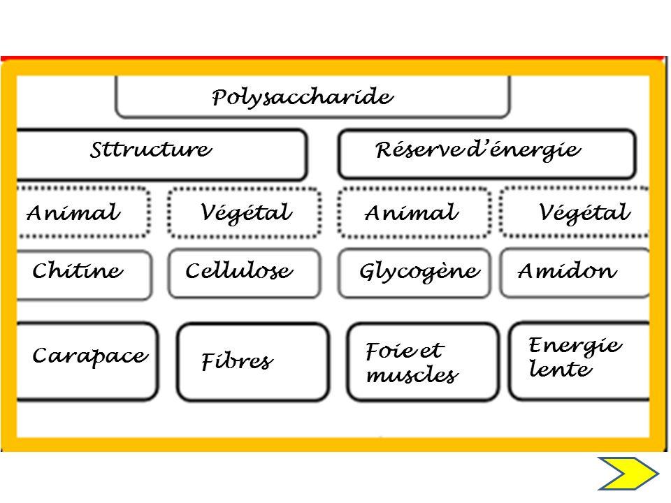 Polysaccharide Sttructure Animal ChitineCellulose Réserve dénergie Végétal AnimalVégétal GlycogèneAmidon Carapace Fibres Foie et muscles Energie lente