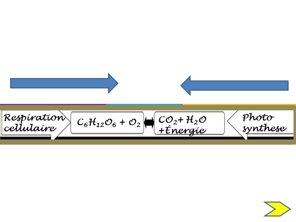 C 6 H 12 O 6 + O 2 CO 2 + H 2 O +Énergie Respiration cellulaire Photo synthese