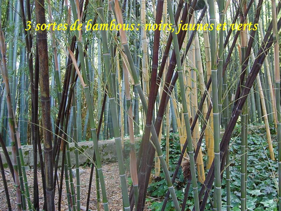Ce bambo u pousse de 1m par jour Fleurs de bananiers