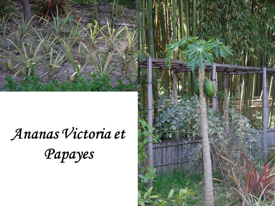 3 sortes de bambous : noirs, jaunes et verts