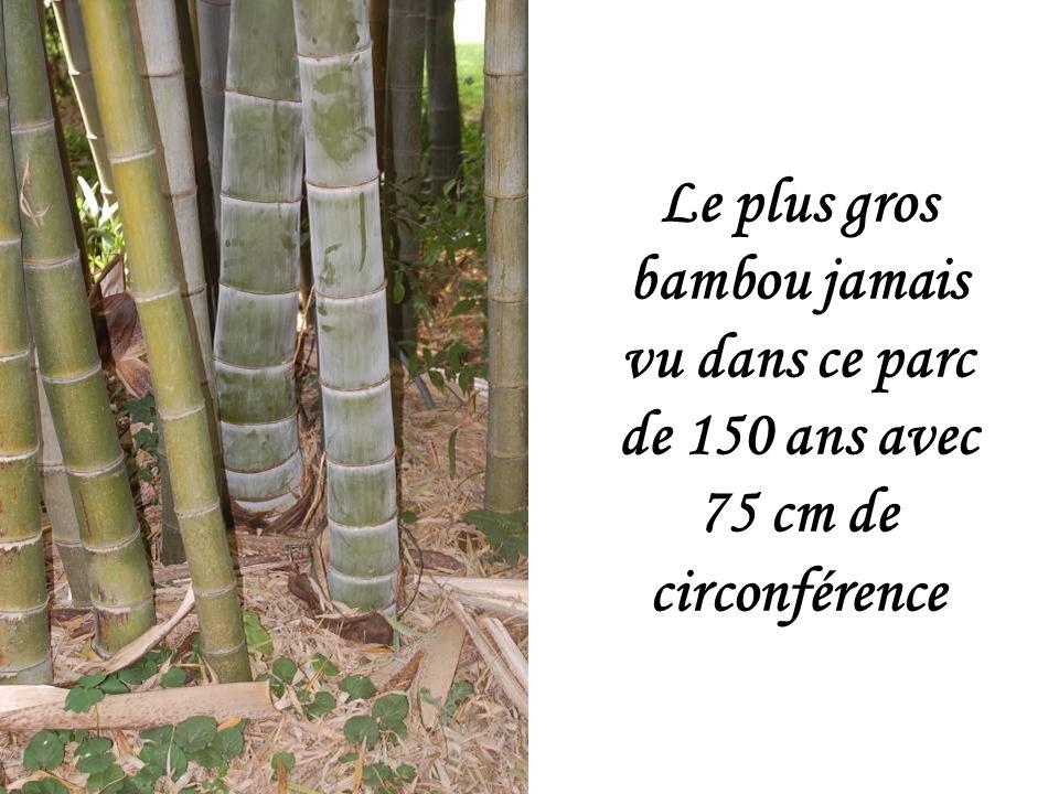Tous les bambous ont des tiges souterraines, appelées rhizones.
