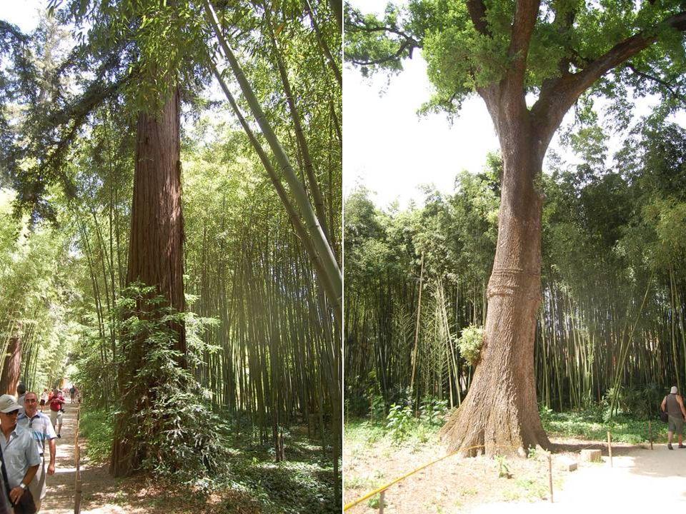 Le plus gros bambou jamais vu dans ce parc de 150 ans avec 75 cm de circonférence