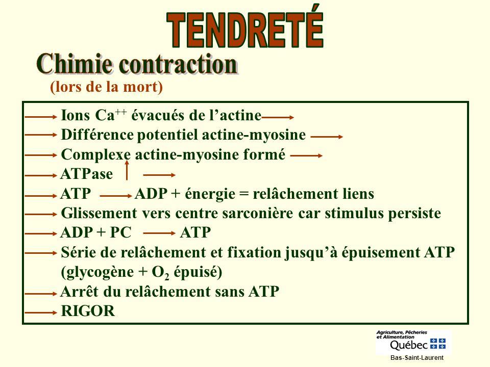 (lors de la mort) Ions Ca ++ évacués de lactine Différence potentiel actine-myosine Complexe actine-myosine formé ATPase ATP ADP + énergie = relâcheme