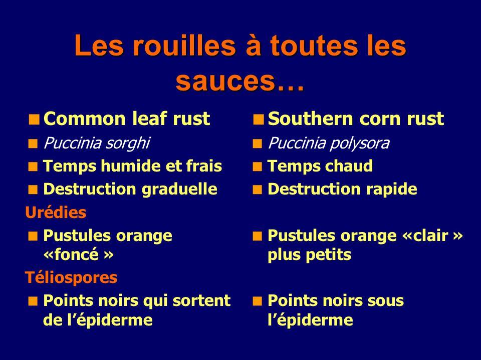 Les rouilles à toutes les sauces… Common leaf rust Puccinia sorghi Temps humide et frais Destruction graduelle Urédies Pustules orange «foncé » Télios
