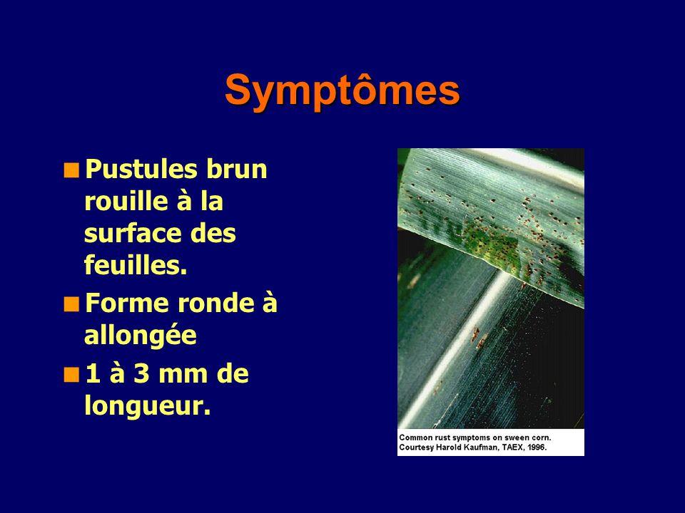 Symptômes Pustules brun rouille à la surface des feuilles. Forme ronde à allongée 1 à 3 mm de longueur.