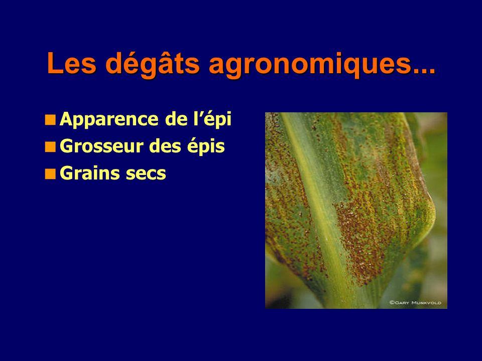 Les dégâts agronomiques... Apparence de lépi Grosseur des épis Grains secs