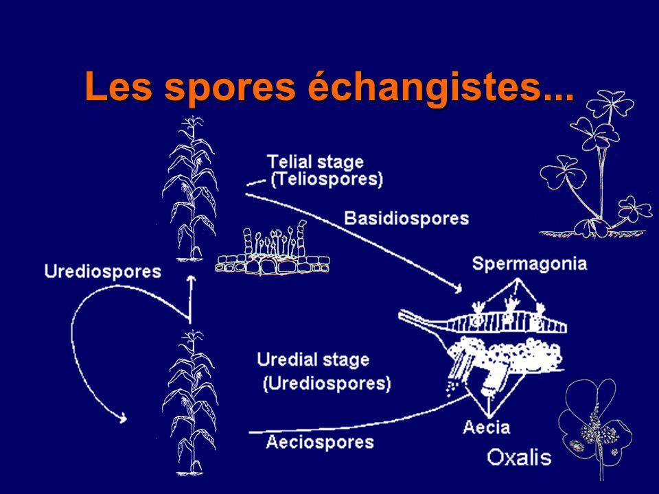 Téliospores passent lhiver, germent, infectent Oxalis Copyright Cornell University