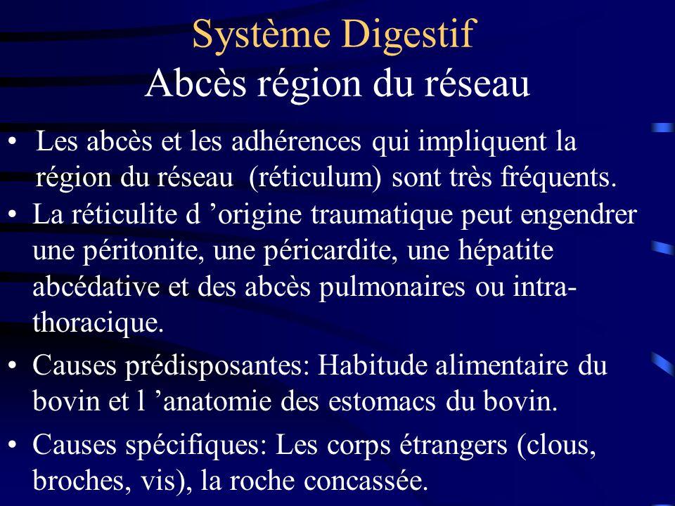 Système Digestif Abcès région du réseau La réticulite d origine traumatique peut engendrer une péritonite, une péricardite, une hépatite abcédative et