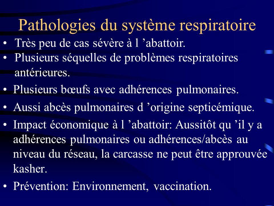 Pathologies du système respiratoire Plusieurs bœufs avec adhérences pulmonaires. Aussi abcès pulmonaires d origine septicémique. Impact économique à l