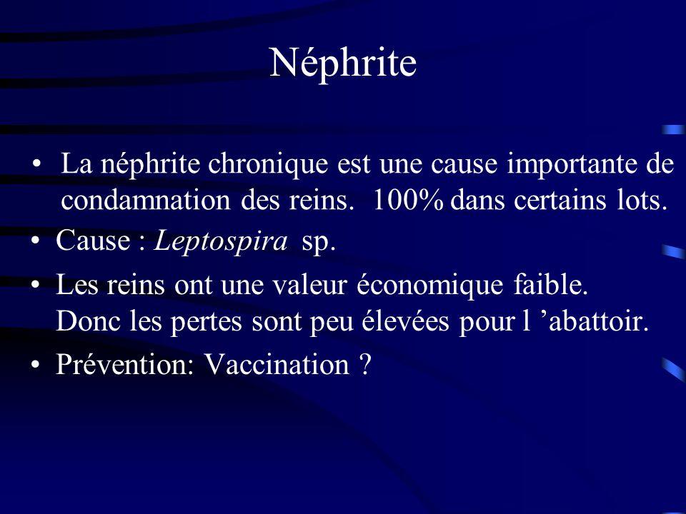 Néphrite Cause : Leptospira sp. Les reins ont une valeur économique faible. Donc les pertes sont peu élevées pour l abattoir. Prévention: Vaccination