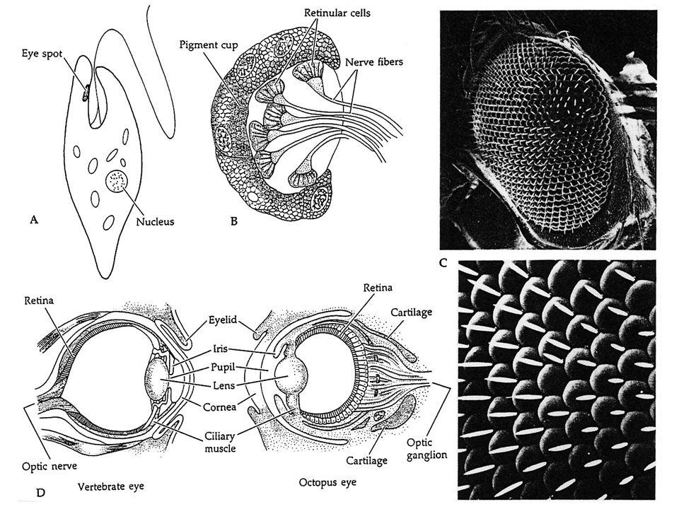 ÉVOLUTION DE L ŒIL : Part de lhomologie Part de la convergence