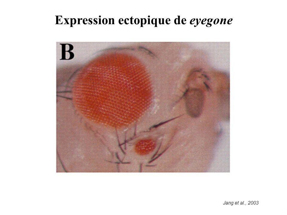 Expression ectopique de eyegone Jang et al., 2003