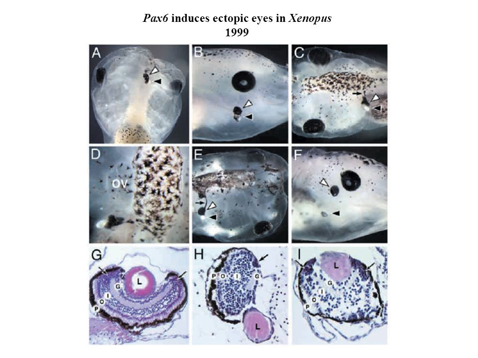 Pax6 induces ectopic eyes in Xenopus 1999