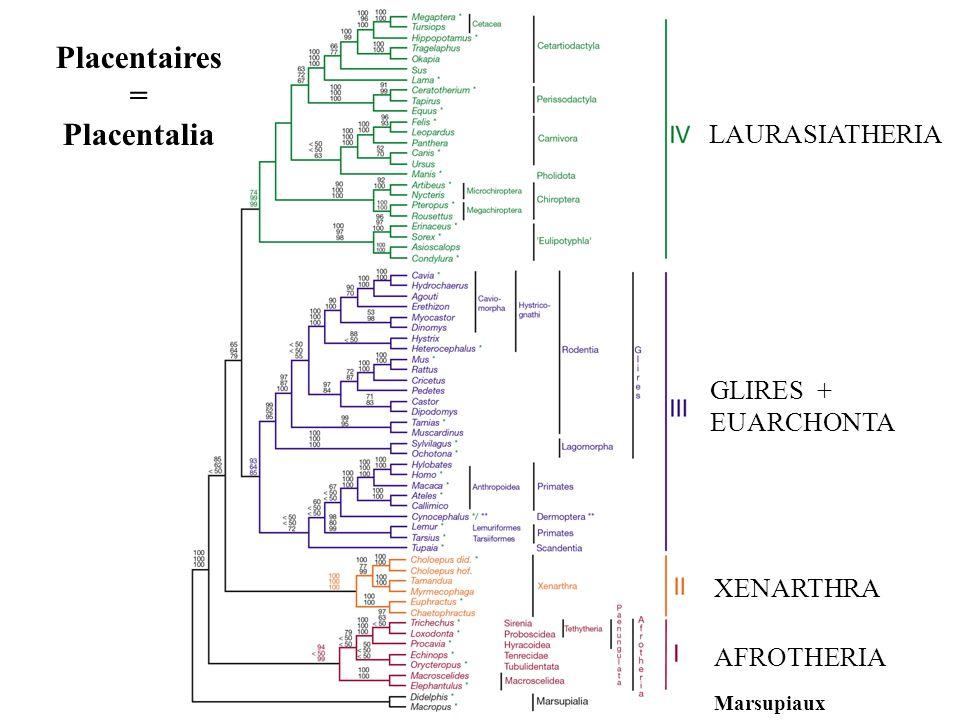 LAURASIATHERIA GLIRES + EUARCHONTA XENARTHRA AFROTHERIA Marsupiaux Placentaires = Placentalia