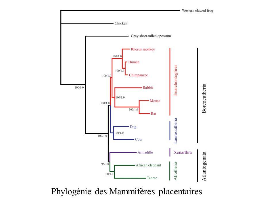 Phylogénie des Mammifères placentaires