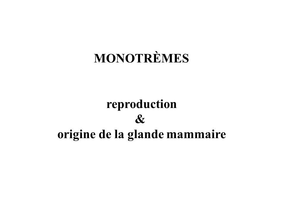 MONOTRÈMES reproduction & origine de la glande mammaire