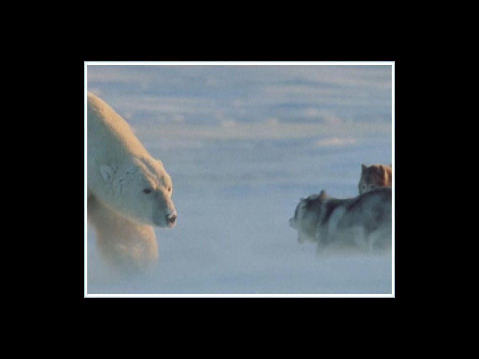 Le photographe était sûr de voir ses huskies, se faire bouffer par l'ours blanc qui venait d'apparaître… Le photographe était sûr de voir ses huskies,