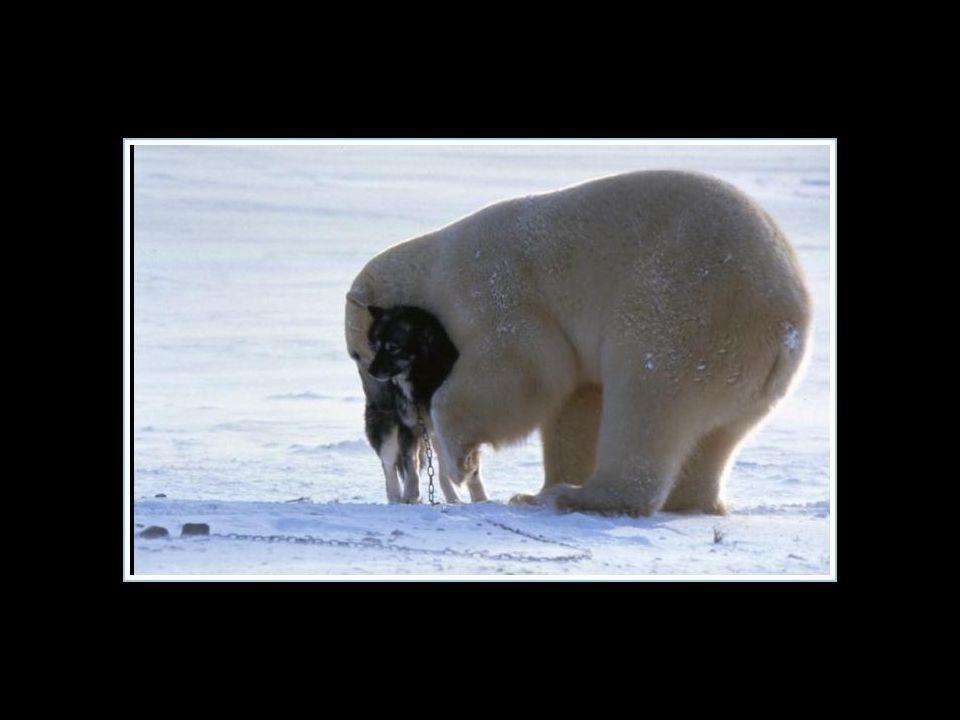 Il semble évident que cet ours n'était pas affamé…