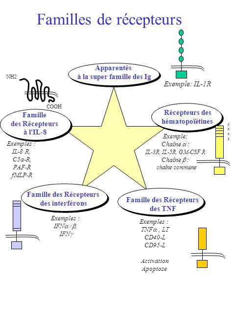 Familles de récepteurs Apparentés à la super famille des Ig Exemple: IL-1R Famille des Récepteurs des TNF Exemples : TNF, LT CD40-L CD95-L Activation