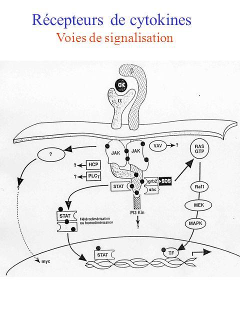 Récepteurs de cytokines Voies de signalisation