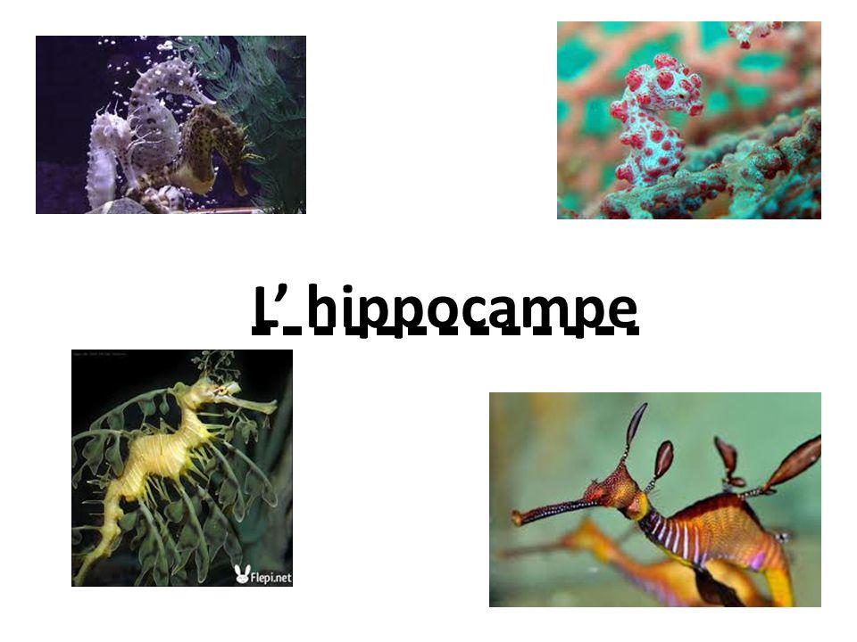 L hippocampe