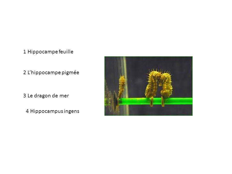 4 Hippocampus ingens 1 Hippocampe feuille 3 Le dragon de mer 2 Lhippocampe pigmée