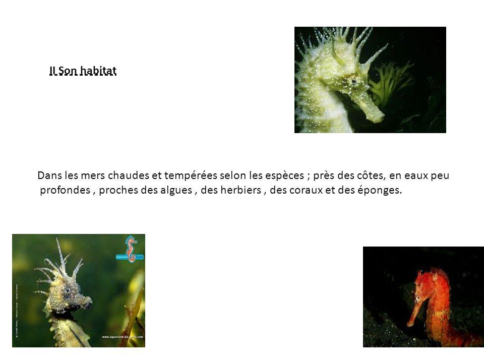 II Son habitat Dans les mers chaudes et tempérées selon les espèces ; près des côtes, en eaux peu profondes, proches des algues, des herbiers, des coraux et des éponges.