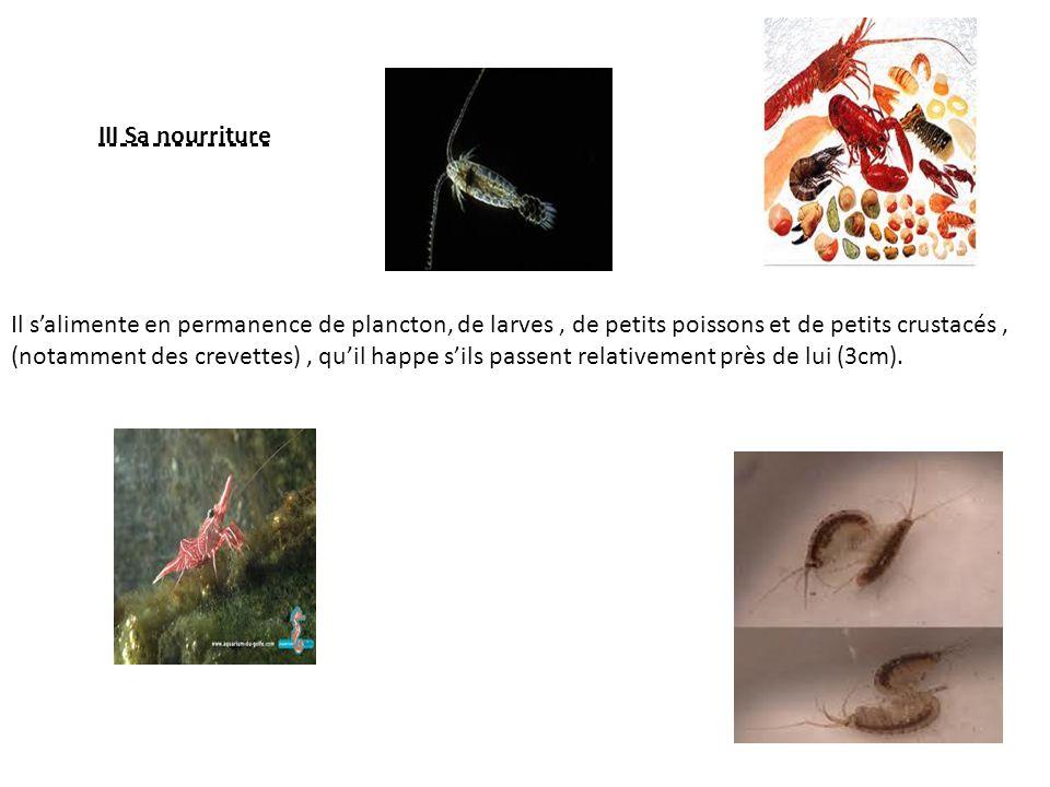 III Sa nourriture Il salimente en permanence de plancton, de larves, de petits poissons et de petits crustacés, (notamment des crevettes), quil happe sils passent relativement près de lui (3cm).