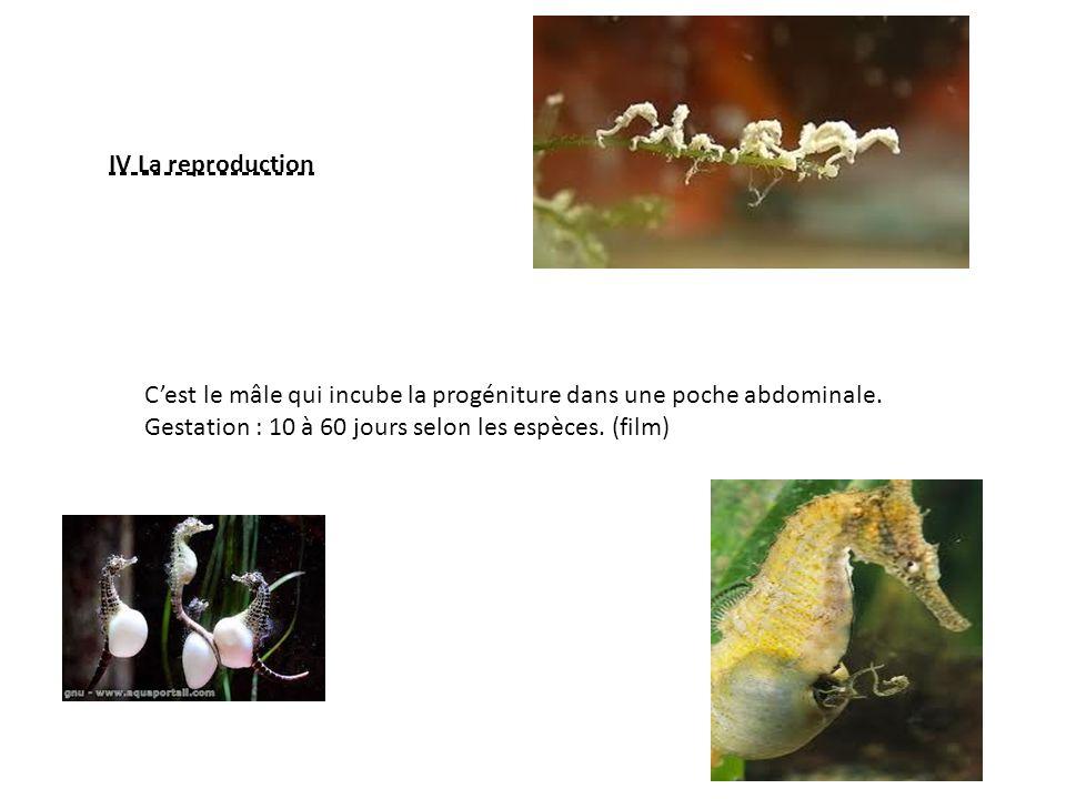 IV La reproduction Cest le mâle qui incube la progéniture dans une poche abdominale.