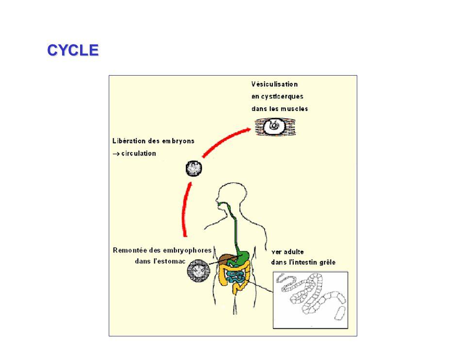 Remontée des embryophores dans lestomac CYCLE
