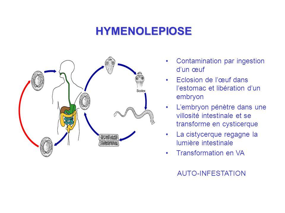HYMENOLEPIOSE Contamination par ingestion dun œuf Eclosion de lœuf dans lestomac et libération dun embryon Lembryon pénètre dans une villosité intestinale et se transforme en cysticerque La cistycerque regagne la lumière intestinale Transformation en VA AUTO-INFESTATION