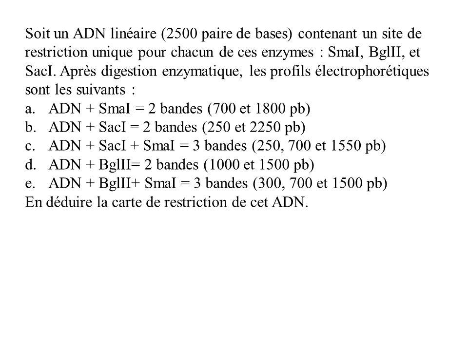 Soit un ADN linéaire (2500 paire de bases) contenant un site de restriction unique pour chacun de ces enzymes : SmaI, BglII, et SacI. Après digestion