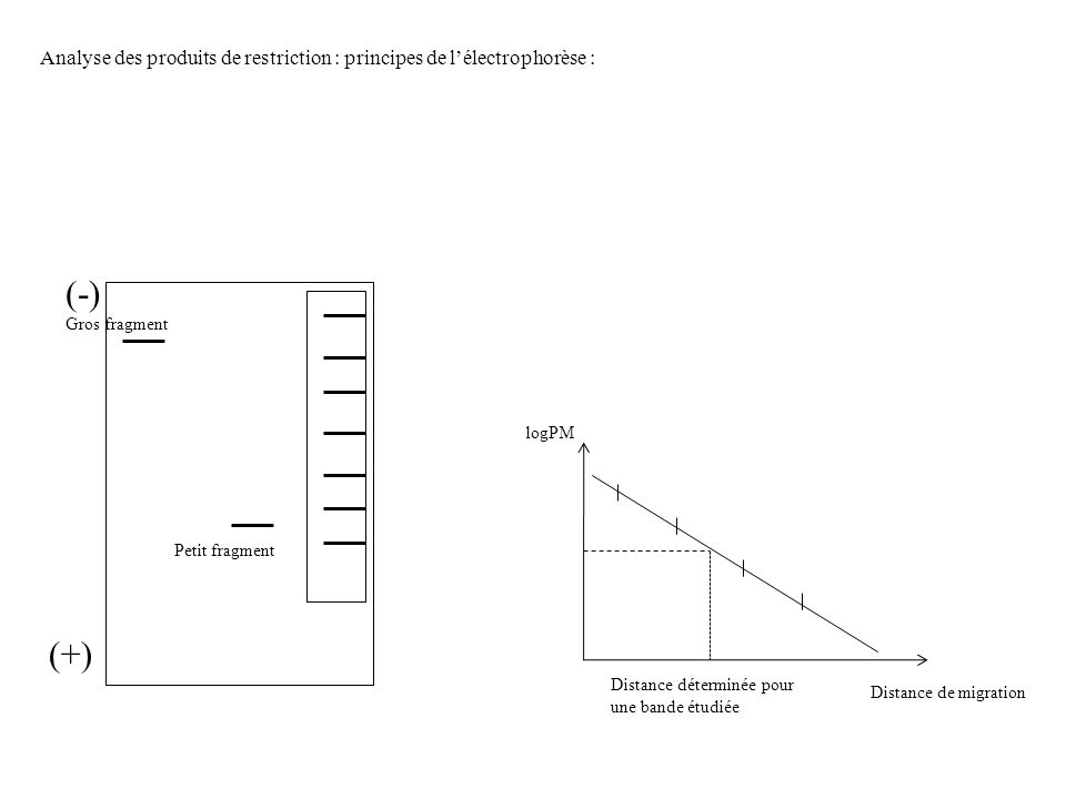 Analyse des produits de restriction : principes de lélectrophorèse : (-) (+) Gros fragment Petit fragment Distance de migration logPM Distance détermi