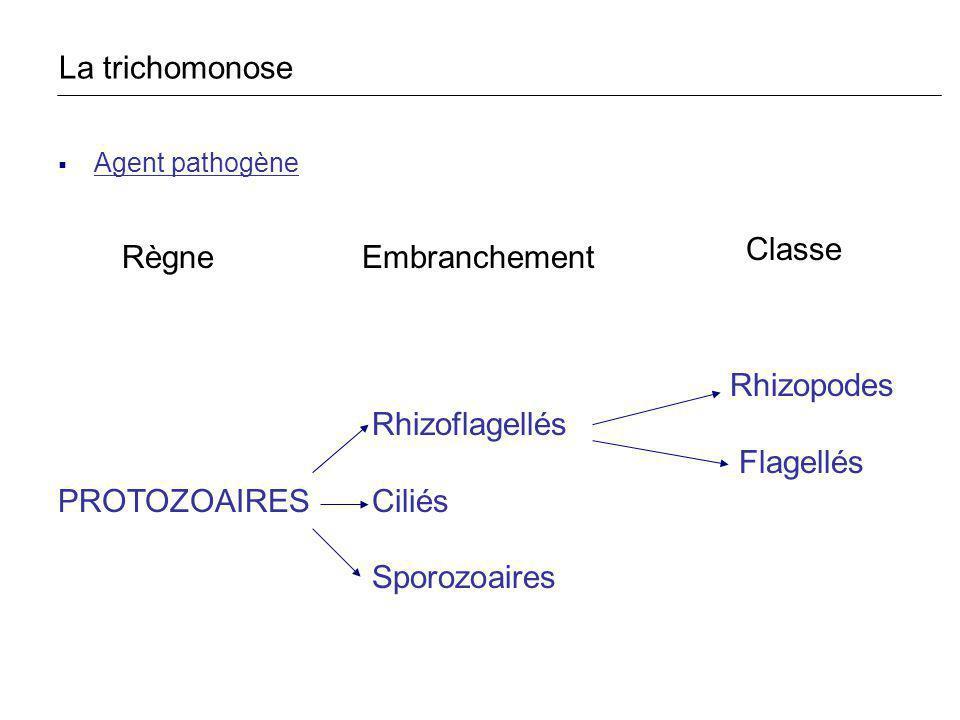 Agent pathogène Rhizopodes Rhizoflagellés Flagellés PROTOZOAIRES Ciliés Sporozoaires RègneEmbranchement Classe La trichomonose